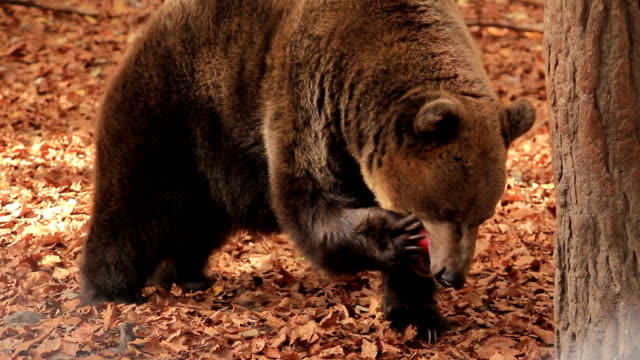 hd:brown bear - bear stock videos and b-roll footage