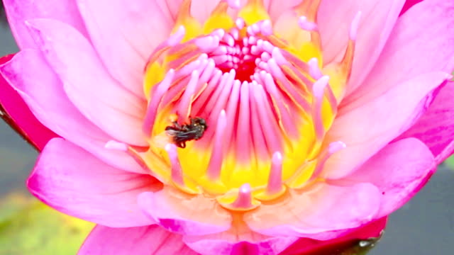 HD:Close up of Lotus with little bee. video