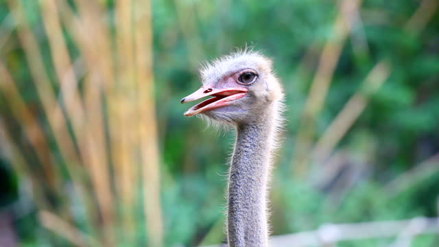 HD:Close-up Male Ostrich Portrait - struthio camelus. video