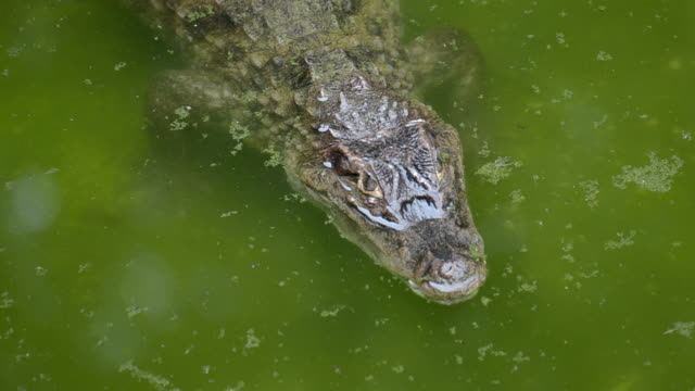 HD:Crocodile alone in the water natural video