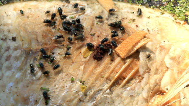 HD:Dead fish covered with flies. video