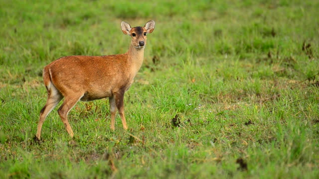 hd: deer w charakterze - jelonek filmów i materiałów b-roll
