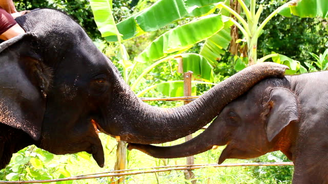 HD:Elephant greeting with trunk. Elephant greeting together between mom & son with trunk. offspring stock videos & royalty-free footage