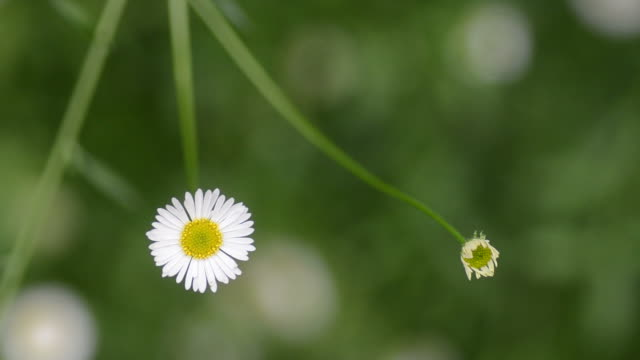 HD:Erigeron karvinskianus white flower close up video