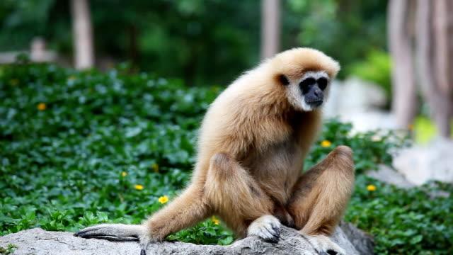 hd: gibbone guarda questo modo. - gibbone video stock e b–roll