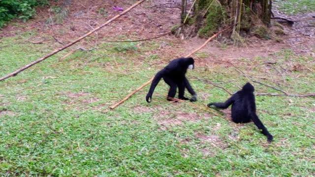 hd:gibbons spelar. - gibbon människoapa bildbanksvideor och videomaterial från bakom kulisserna