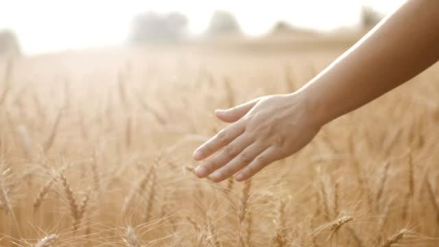 HD:Golden wheat field with woman hand walking in barley field , close-up , Slow motion Slow motion of Golden wheat field with woman hand walking in barley field rye grain stock videos & royalty-free footage