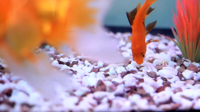 HD:Goldfish tank video