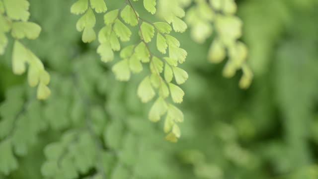 HD:Green fern fresh leaf in nature video