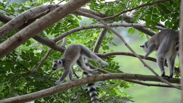 HD:Lemur Ring tailed in the nature video