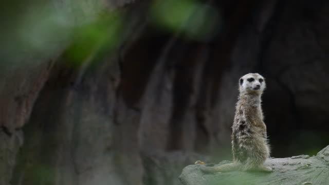 stockvideo's en b-roll-footage met hd:meerkat dier in wildreservaat - eén dier