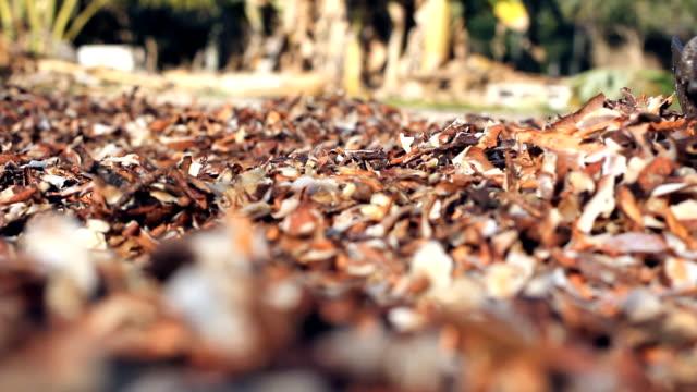 HD:Person raking clove harvest drying. video