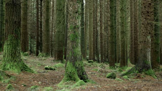 vídeos y material grabado en eventos de stock de hd: pine tree tollymore park bosque, irlanda del norte - pino conífera