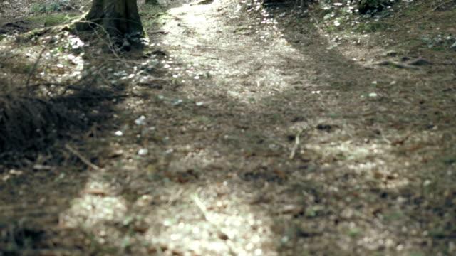 hd: pine tree forest, tollymore park, northern ireland - kiefernwäldchen stock-videos und b-roll-filmmaterial