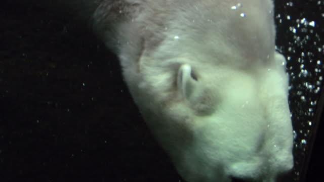 HD-Polarbearswimming