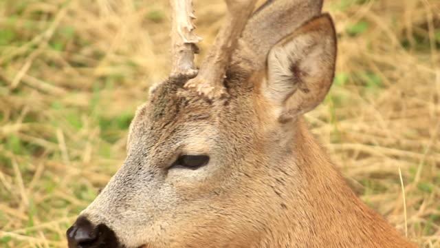 HD:Roe deer video