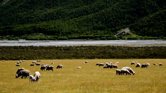 HD:Sheep in the nature at new zealand video