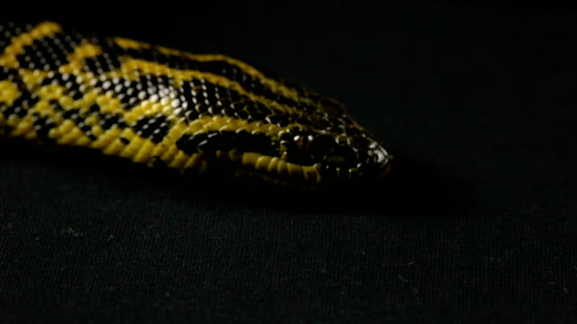 Head and tongue of yellow anaconda video