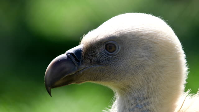 head of a bird of prey with a curved beak video