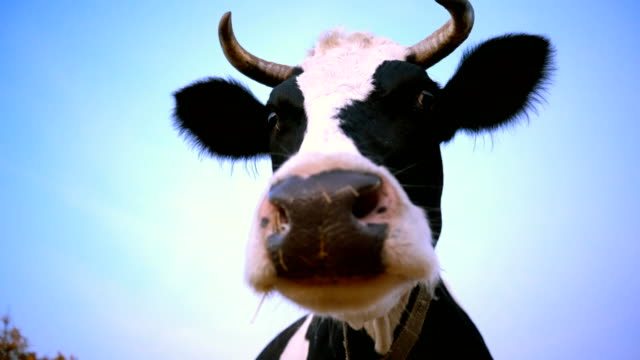 4K Head of a black and white cow. The animal is looking at the camera.