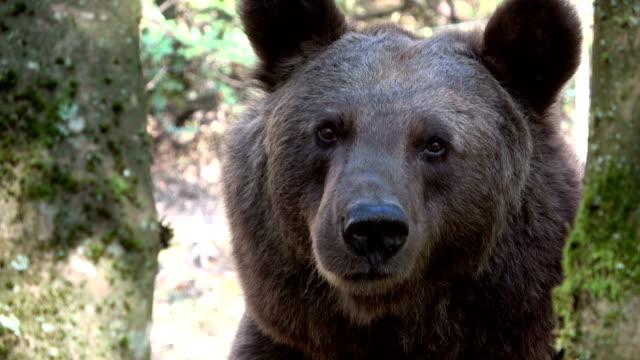 head of a brown bear, ursus arctos - центральная европа стоковые видео и кадры b-roll