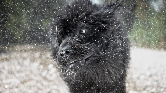 SLO MO Head of a Newfoundland dog shaking off water