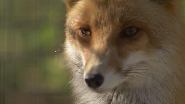 head of a red fluffy fox
