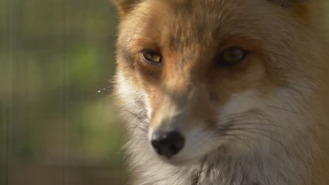 head of a red fluffy fox video