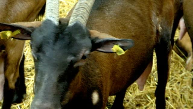 boynuzları ile yaşlı bir keçi başı - sale stok videoları ve detay görüntü çekimi