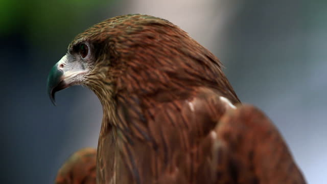 head of Black Kite Bird head of Black Kite Bird falcon bird stock videos & royalty-free footage