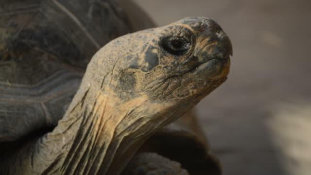 Head of Galápagos tortoise or Galápagos giant tortoise - Chelonoidis nigra Head of Galápagos tortoise or Galápagos giant tortoise looking around - Chelonoidis nigra giant tortoise stock videos & royalty-free footage