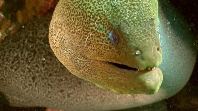 head of giant gymnothorax javanicus moray eels in pure water of red sea. - на морском дне стоковые видео и кадры b-roll