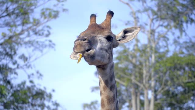 Head of giraffe close up video