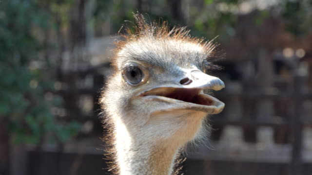 Head of ostrich. video