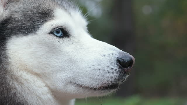testa di husky siberiano con gli occhi azzurri da vicino. - cane husky video stock e b–roll