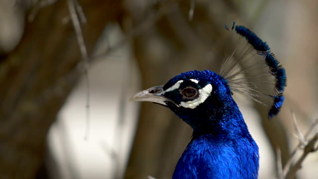 Head of the cock of the deep blue peacock video