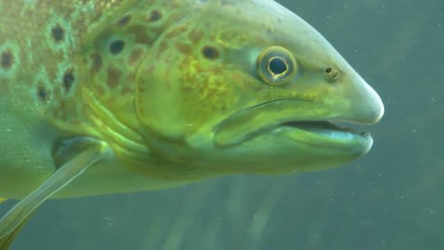 head of white trout fish - trout video stock e b–roll
