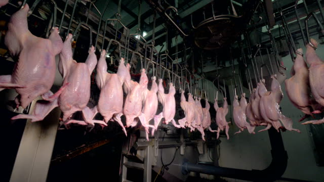 Headless chickens transported through ceiling lines near factory equipment video
