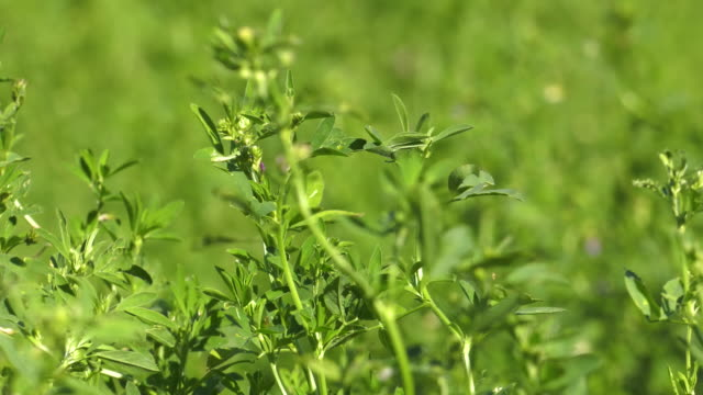 a healthy alfalfa crop in a farm field. 4k video - erba medica video stock e b–roll
