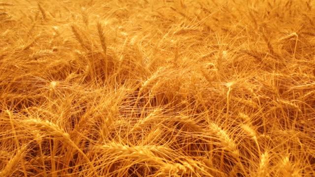 Healthy bumper crop of wheat video