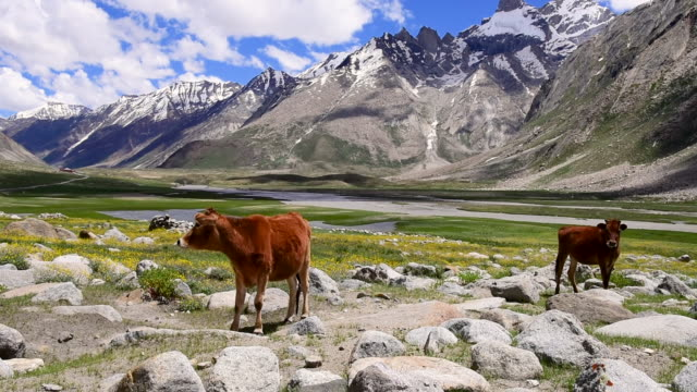 Healthy cow in beautiful flowers wildlife sanctuary,Leh Ladakh,Jammu and kashmir,north India
