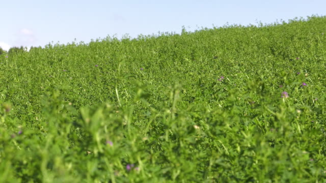 a healthy crop of alfalfa in a farm field on a bright sunny day with the wind blowing the plants as the camera zooms.  4k video - erba medica video stock e b–roll