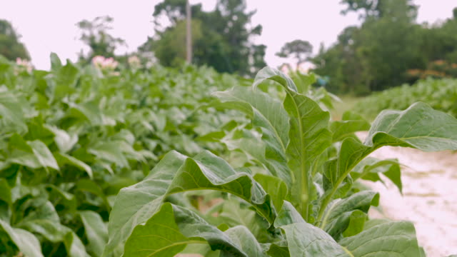 healthy flowering tobacco plants in - cu - nicotina video stock e b–roll