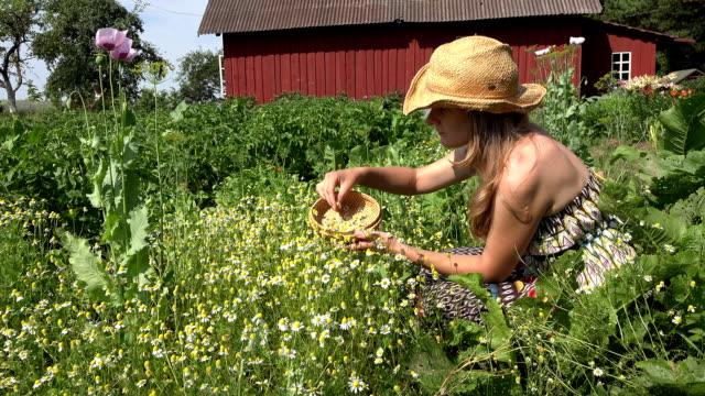 vídeos y material grabado en eventos de stock de chica sana recoger flores de hierbas de manzanilla en el patio de la casa rural. fullhd - medicina holística