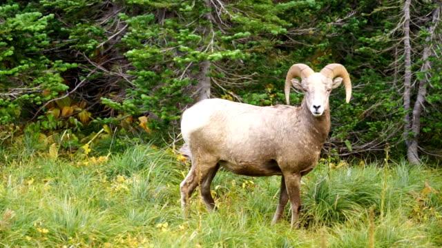 Healthy Male Ram Bighorn Sheep Wild Animal Montana Wildlife video