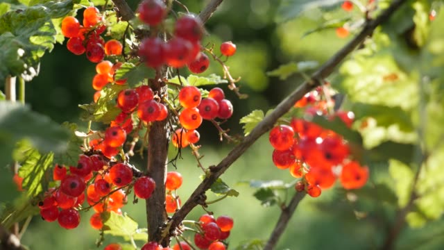 healthy ribes rubrum plant shallow dof 4k - ribes rosso video stock e b–roll