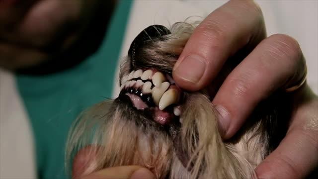 健康な歯は、あなたのペットにとって非常に重要 - イヌ科点の映像素材/bロール