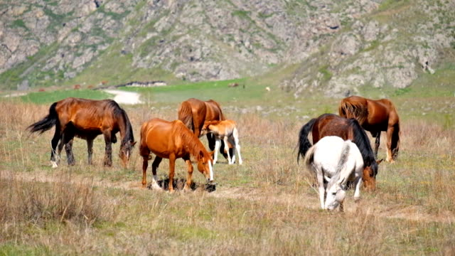 Heard of horses in Altai mountains video