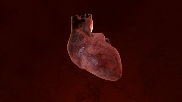 vídeos de stock e filmes b-roll de coração anatomia em hd (1080 p - ventrículo do coração