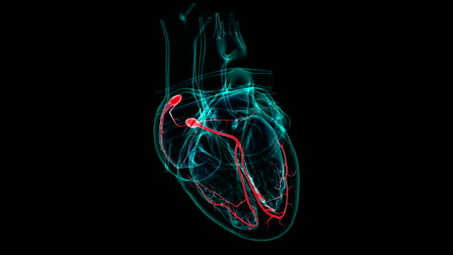 Heart Anatomy SA and AV node For Medical Concept 3D Heart Anatomy SA and AV node For Medical Concept 3D Illustration blood flow stock videos & royalty-free footage